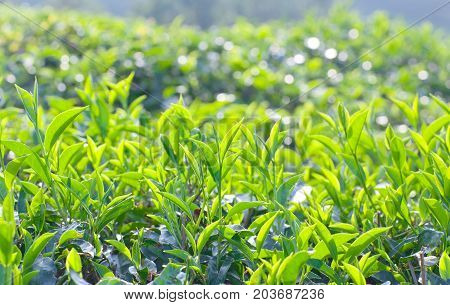 Green tea background - fresh leaves close up on blurred background at tea plantations in Munnar Kerala South India.