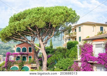 Beautiful daylight view to green tree and purple flowers. House background. Santa Margherita Ligure, Italy