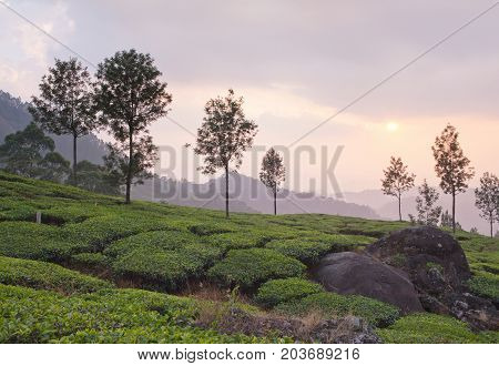 Tea plantations at sunset in Munnar, Kerala, South India. It is situated at around 1600 meters above sea level in the Western Ghats range of mountains.