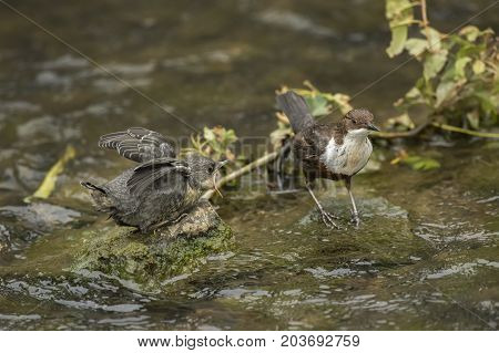 Dipper Juvenile And Parent, Perched In A Stream, Calling For Food