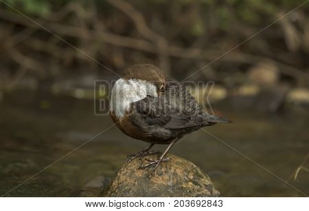 Dipper Perched On A Rock Preening Itself, Close Up
