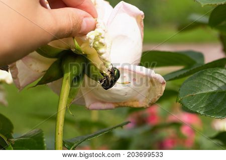 Cetonia Aurata, Also Known As Rose Chafer Or Green Rose Chafer, On A White Rose In A Garden