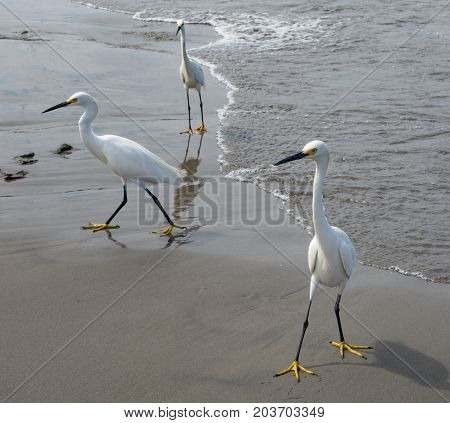 Egrets Looking For Handouts