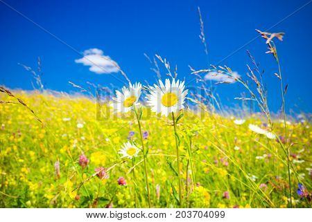 Beautiful  summe Green Meadow ,  with chamomile