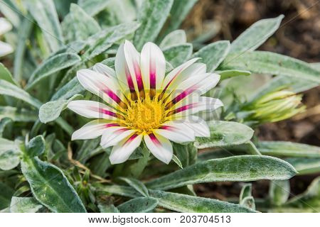 pale white and violet colored tiger gazania flower in garden