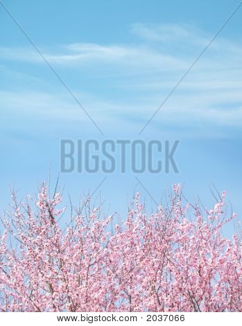 Plum Tree Blue Sky Background