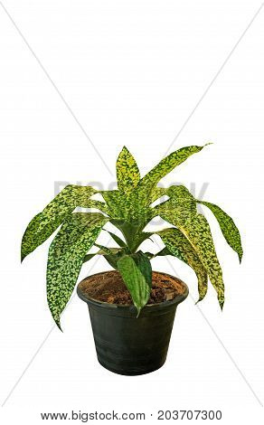 Closeup Spotted Dracaena Isolated on White Background Clipping Path