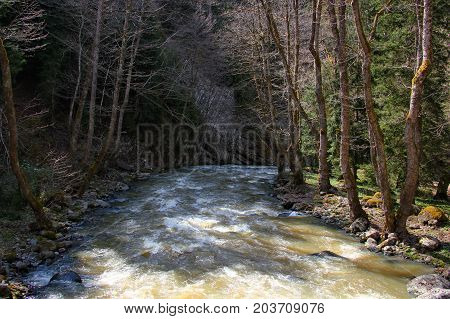 mountain river with strong current in a wooded area. on both banks trees, early spring, the branches still no leaf