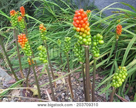 Cuckoo Pints In Danish Front Garden