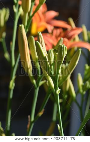Precious Close Up of Daylily Buds in a Garden