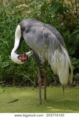Standing white naped crane in an algae covered pond.