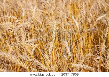 Close View of Golden Yellow Wheat Field