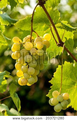 White grapes hainding on a bush in beautiful day