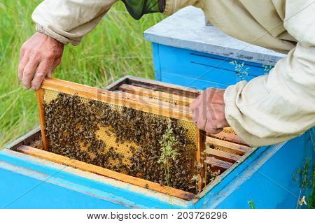 The beekeeper looks over the honeycomb with a bee larvae. Hive