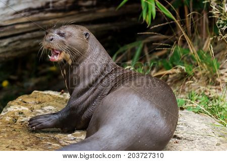 Mammal Otter giant (Pteronura brasiliensis) with Open mouth near river