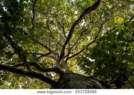Light through the green plane tree crown