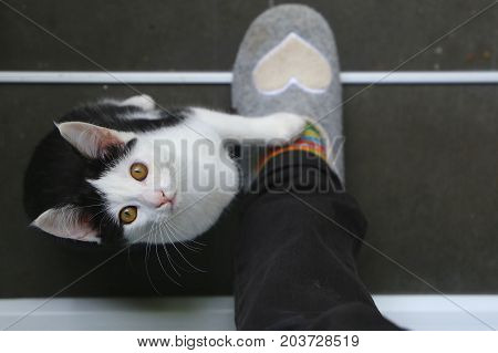 Cute black and white kitten put it's paw on my foot and is looking up to me