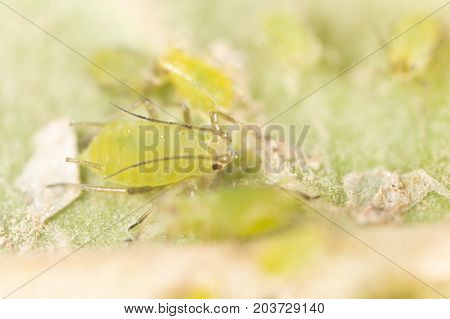 Extreme magnification - Green aphids on a plant