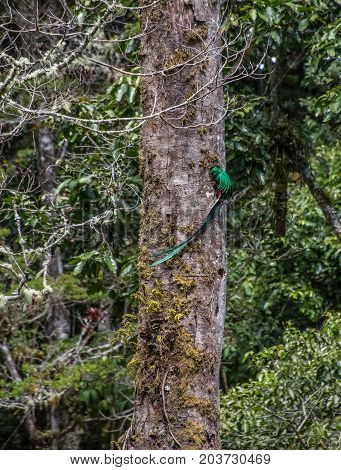Male Resplendent quetzal feeding the breed in the forest Costa Rica