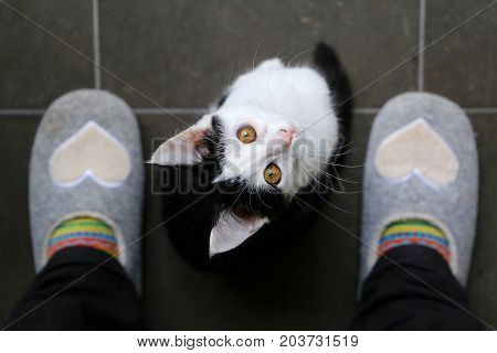 A cute black and white kitten is sitting between my feet and looking up to me