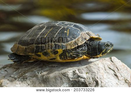 Turtle. The yellow-bellied slider (Trachemys scripta scripta).