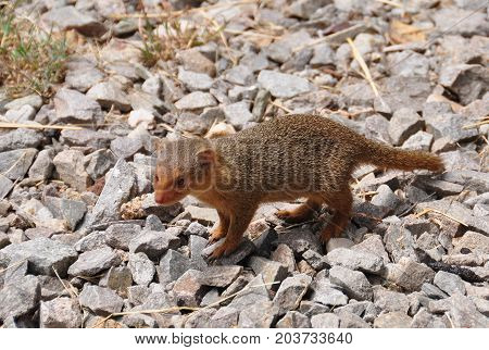 A dwarf mongoose walking about a picnic place