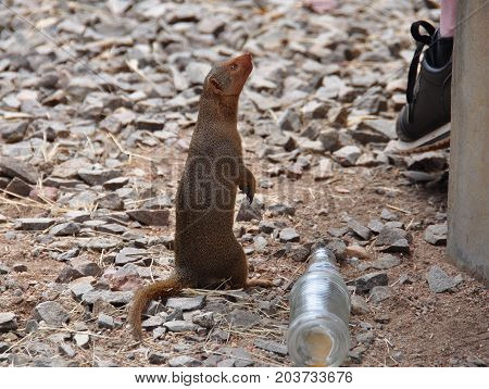 A dwarf mongoose looking at a picnic table