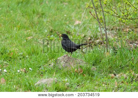 The bird of Eurasian blackbird (Turdus merula)