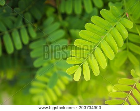 Background of tamarind green leaves in natural