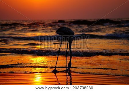 White flamingo walks on the beach during sunset. Colorful sunset. Flamingo posing.