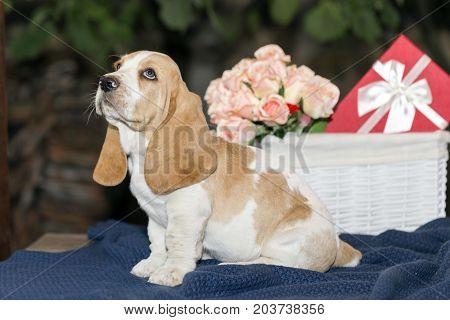 Cute Small Basset Hound Puppy