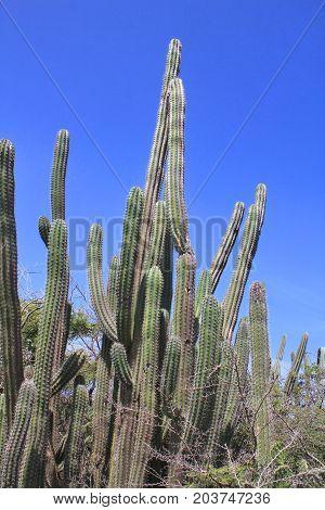 Cactus At Aruba Island