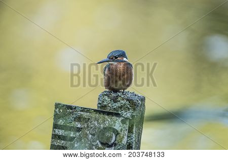Kingfisher, Perched On A Measuring Stick, Close Up