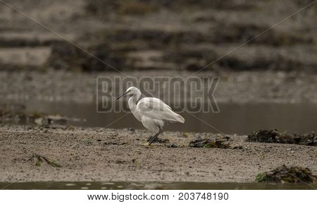 Little Egret On A Sandbank In An Estuary