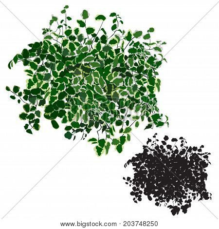 Ficus dwarfish (Ficus pumila) the color image and a silhouette in the vector image on a white background