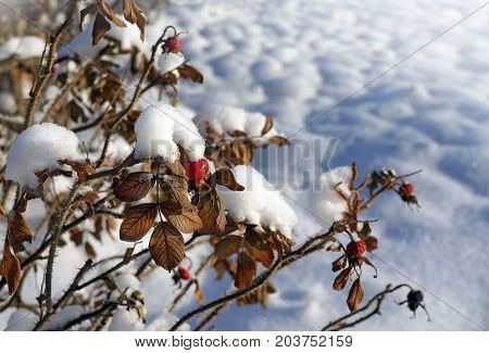 Winter nature branches with berries in snow and frost