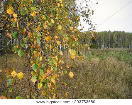 Autumn landscape with branches of bright yellow birch tree