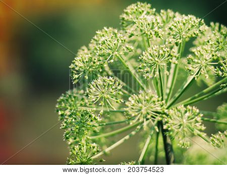 Angelica plan. Close-up . Shallow depth of field.