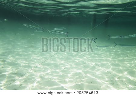 A flock of small fishes in the water, Belone belone