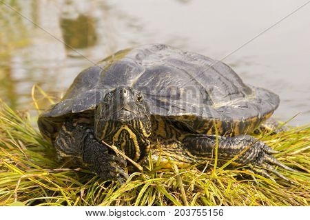 A Turtle Waiting For Prey On The River Bank