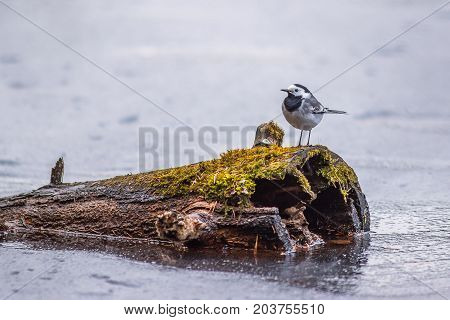 Single wagtail bird sitting on tree stump