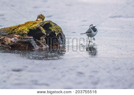 Single wagtail bird walking proudly on ice