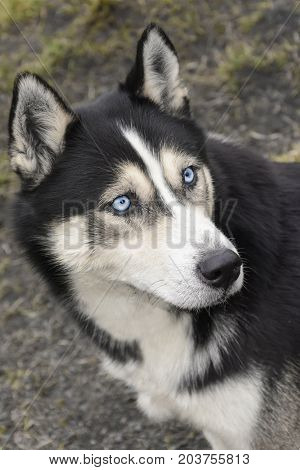 Portrait Of Siberian Husky With Blue Eyes