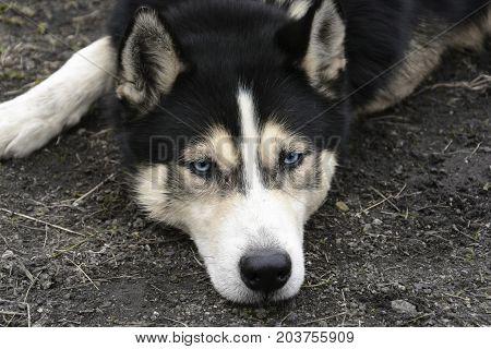 Portrait Of Lying Siberian Husky With Blue Eyes