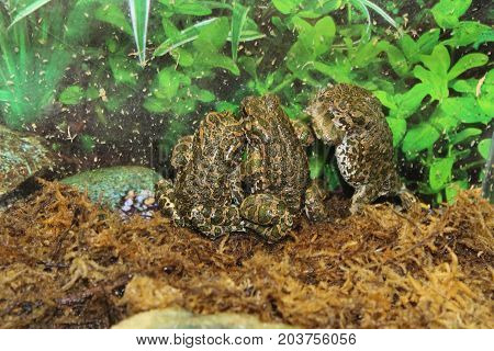A beautiful olive toad that inhabits the wild