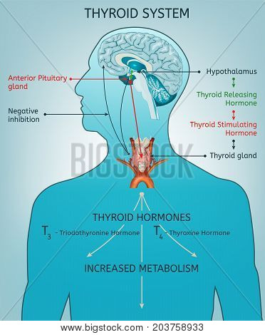 Thyroid system vector illustration. Medical anatomy with brain, throat, bone and trachea with useful information shown on a human body silhouette isolated on a light blue background.