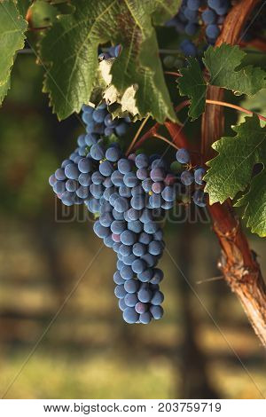 Ripe Cabernet Sauvignon grapes on an old vine,ready for harvest,  sunset time, selective focus