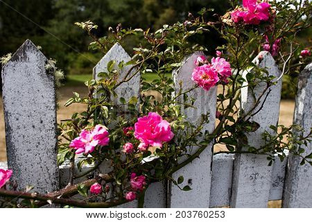Pink Climbing Roses on a Weathered Picket Fence