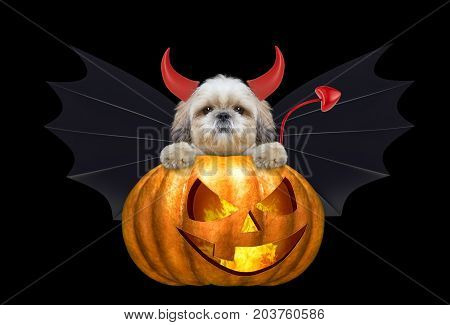 halloween pumpkin witch cute shitzu dog in bat costume - isolated on black background