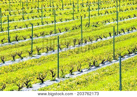 Closeup View Of Young Wine Grapevine Plant Rows In Summer In Winery With Yellow Dandelion Wildflower